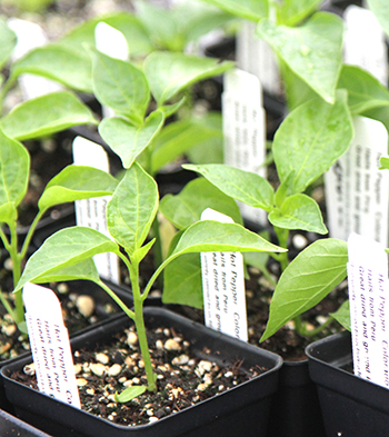 Green Pepper Plants